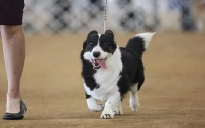 How A Dog Show Works: What Are They Judging?
